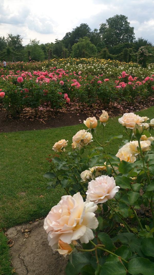 rose in regents park 1