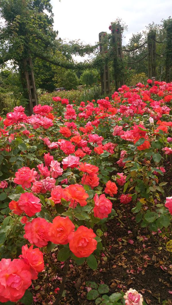 rose in regents park 2
