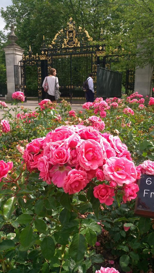 rose in regents park 4