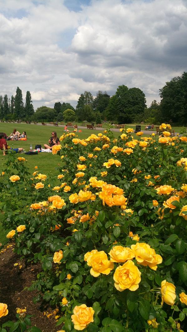 rose in regents park 5