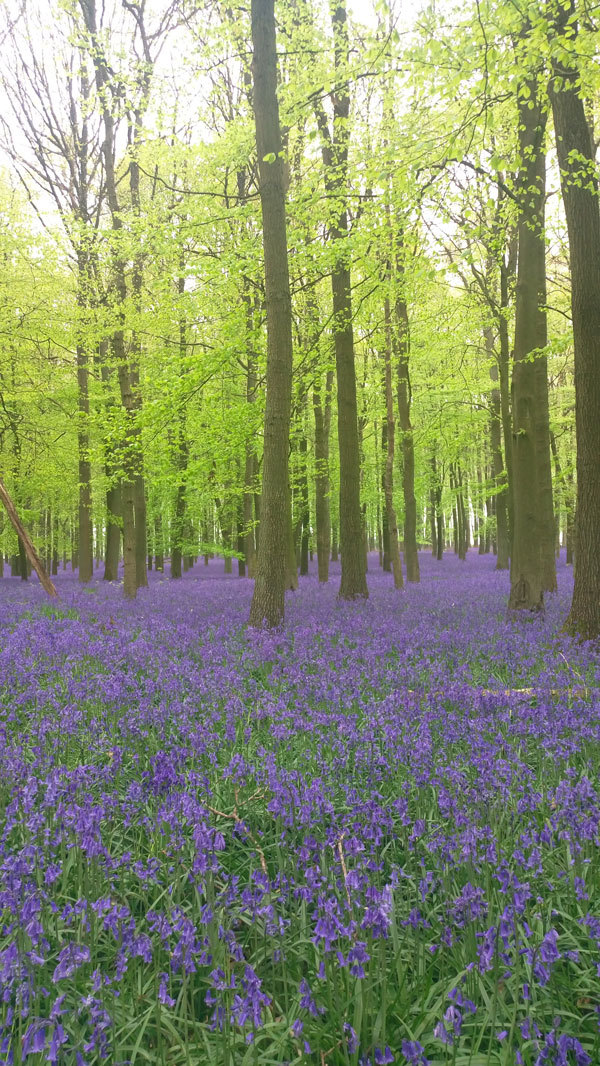 bluebell ashridge 2