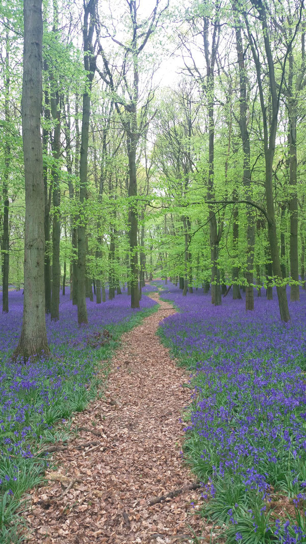bluebell ashridge 1